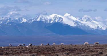 Caribou graze on the coastal plain of the Arctic National Wildlife Refuge, with the Brooks Range as a backdrop. (USFWS)